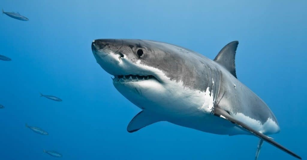 Diving with Great White Shark - Things To Do Eyre Peninsula - South Australia Road Trips