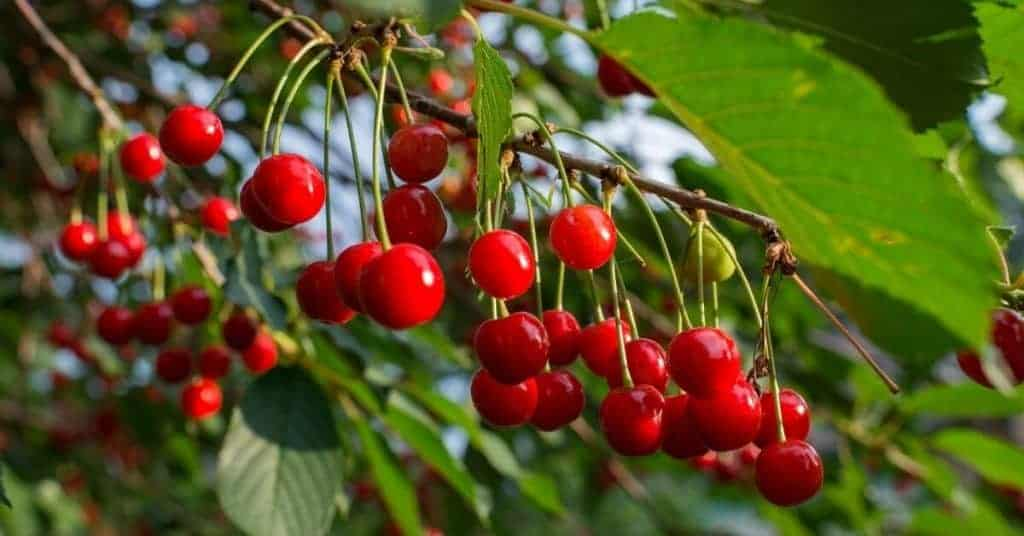 Cherry Picking - Things To Do - Adelaide Hills - South Australia Road Trips