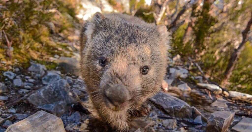 Wombat - Things To Do - Adelaide Hills - South Australia Road Trips